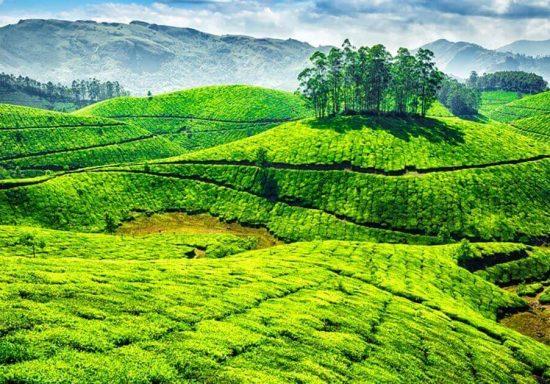 tea-gardens-in-munnar-og